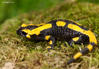Amphibians and Salamanders in France