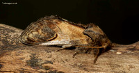 Pebble Prominent