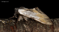 Tawny Prominent