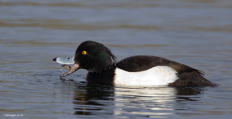 Catching Up With Newt >> Zenfolio | sdimages.co.uk | Tufted Ducks at Moore