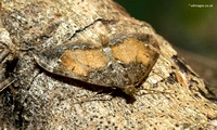 Common Marbled Carpet Moth