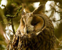 Long- Eared Owl